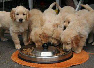 psy jedzą karrmę